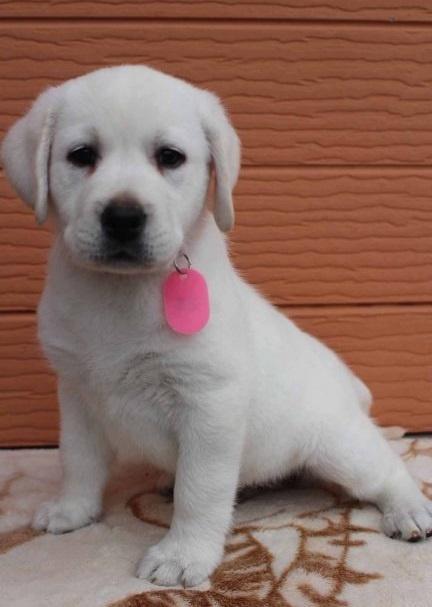 ラブラドールレトリバーの子犬(ID:1247411415)の4枚目の写真/更新日:2018-08-15