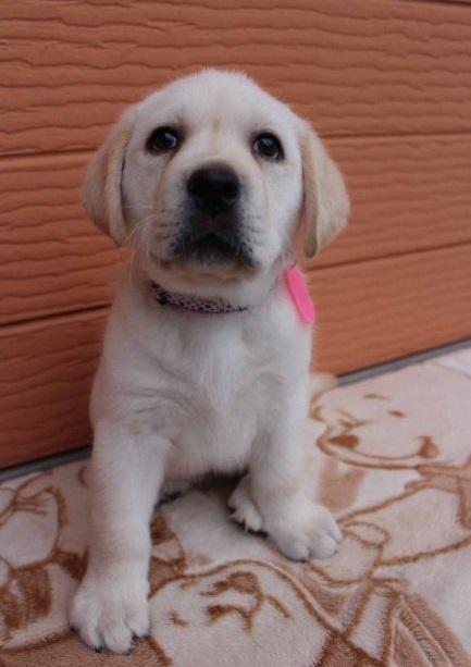 ラブラドールレトリバーの子犬(ID:1247411416)の1枚目の写真/更新日:2019-04-22