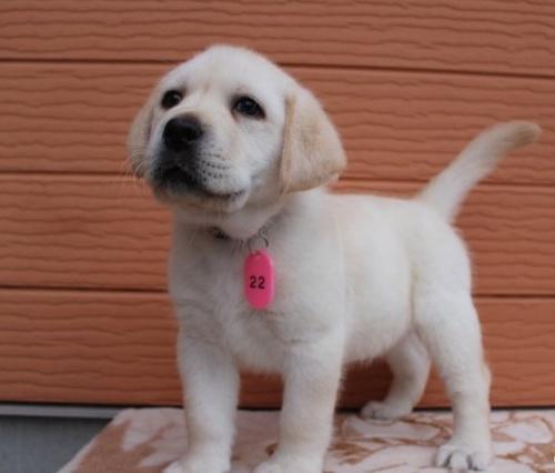 ラブラドールレトリバーの子犬(ID:1247411416)の4枚目の写真/更新日:2018-08-15