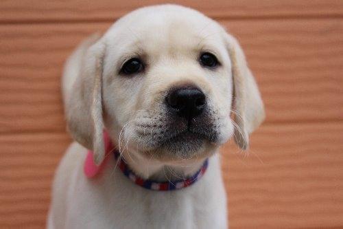 ラブラドールレトリバーの子犬(ID:1247411417)の1枚目の写真/更新日:2018-07-05