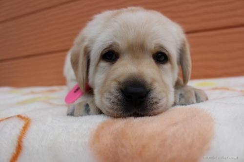ラブラドールレトリバーの子犬(ID:1247411418)の1枚目の写真/更新日:2017-08-23