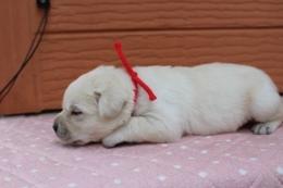 ゴールデンレトリバーの子犬(ID:1247411419)の3枚目の写真/更新日:2017-07-11