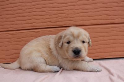 ゴールデンレトリバーの子犬(ID:1247411422)の3枚目の写真/更新日:2018-06-05
