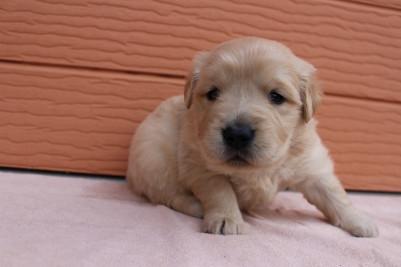 ゴールデンレトリバーの子犬(ID:1247411423)の1枚目の写真/更新日:2017-07-31
