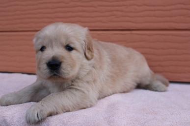 ゴールデンレトリバーの子犬(ID:1247411427)の2枚目の写真/更新日:2018-07-12