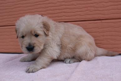 ゴールデンレトリバーの子犬(ID:1247411428)の2枚目の写真/更新日:2018-06-21