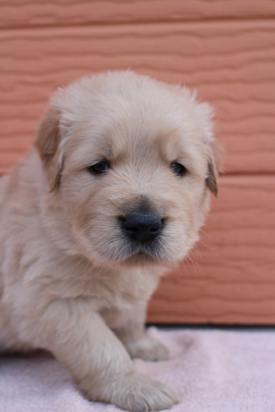 ゴールデンレトリバーの子犬(ID:1247411428)の3枚目の写真/更新日:2018-06-21