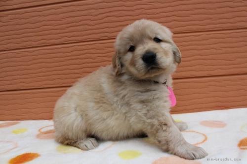 ゴールデンレトリバーの子犬(ID:1247411430)の2枚目の写真/更新日:2017-08-07