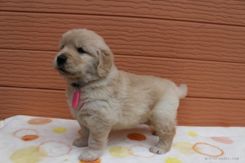 ゴールデンレトリバーの子犬(ID:1247411430)の3枚目の写真/更新日:2018-07-12