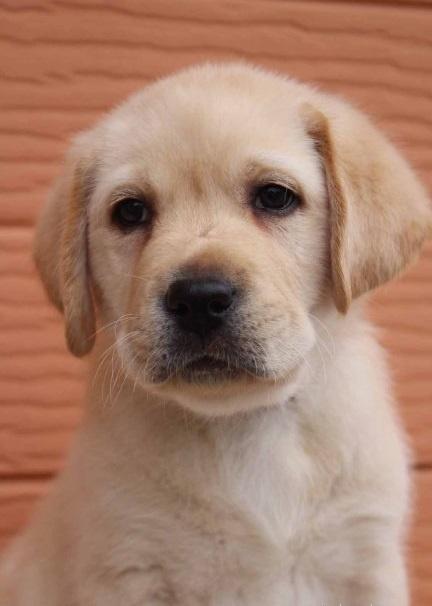ラブラドールレトリバーの子犬(ID:1247411431)の1枚目の写真/更新日:2017-08-23