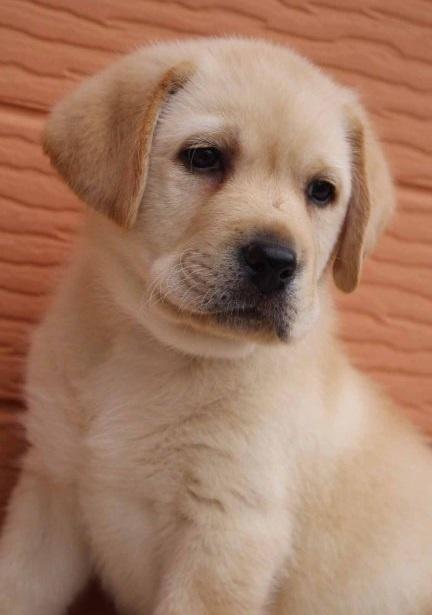 ラブラドールレトリバーの子犬(ID:1247411431)の2枚目の写真/更新日:2017-08-23