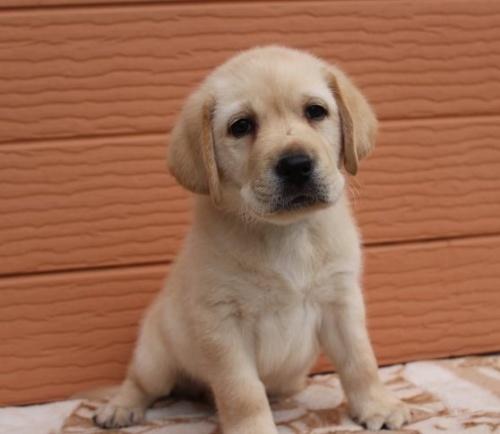 ラブラドールレトリバーの子犬(ID:1247411431)の3枚目の写真/更新日:2018-08-15