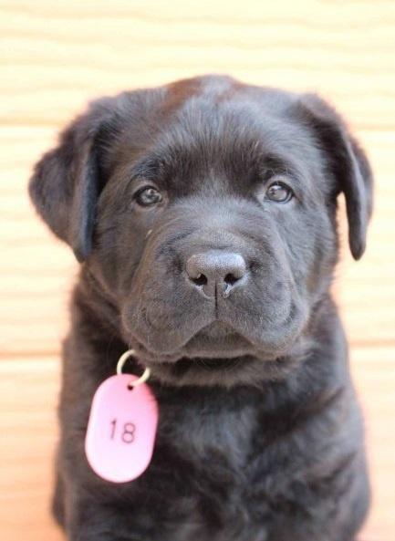 ラブラドールレトリバーの子犬(ID:1247411433)の2枚目の写真/更新日:2017-08-23