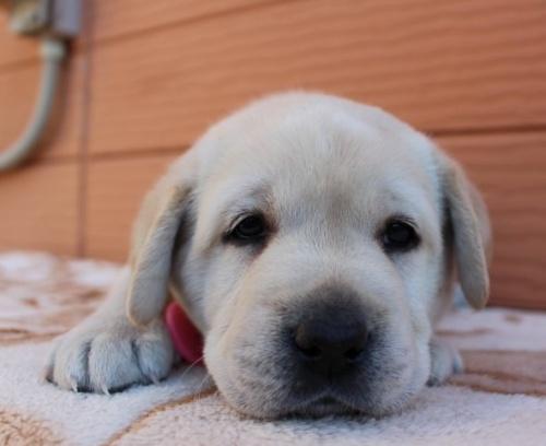 ラブラドールレトリバーの子犬(ID:1247411434)の2枚目の写真/更新日:2018-06-05
