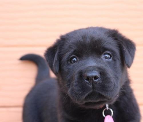ラブラドールレトリバーの子犬(ID:1247411435)の1枚目の写真/更新日:2017-08-15