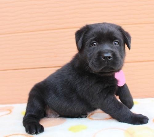 ラブラドールレトリバーの子犬(ID:1247411435)の2枚目の写真/更新日:2018-08-15