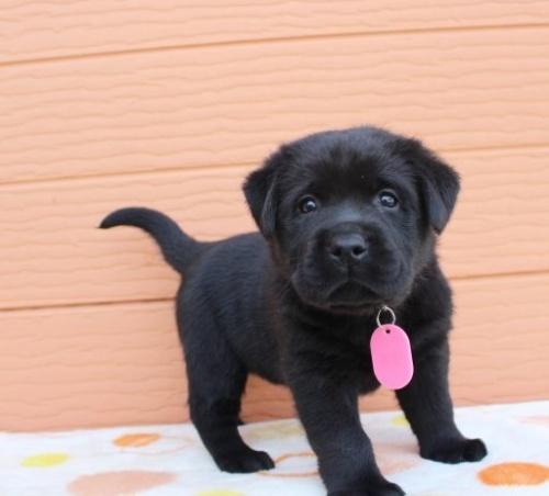 ラブラドールレトリバーの子犬(ID:1247411435)の4枚目の写真/更新日:2018-08-15