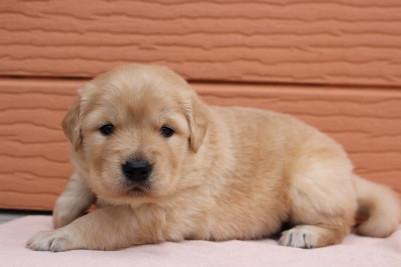 ゴールデンレトリバーの子犬(ID:1247411436)の2枚目の写真/更新日:2017-08-23