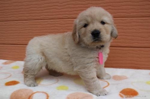 ゴールデンレトリバーの子犬(ID:1247411438)の2枚目の写真/更新日:2017-08-23