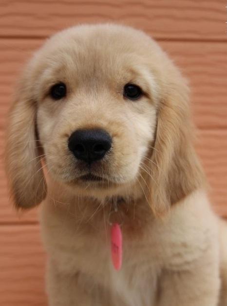 ゴールデンレトリバーの子犬(ID:1247411439)の3枚目の写真/更新日:2018-10-16