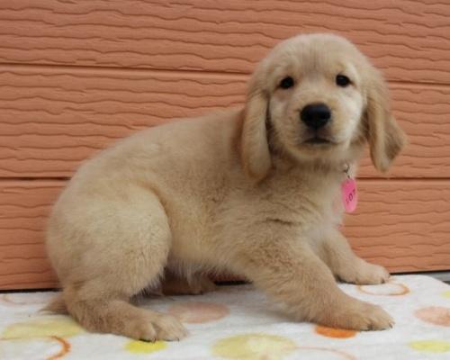 ゴールデンレトリバーの子犬(ID:1247411439)の4枚目の写真/更新日:2018-10-16
