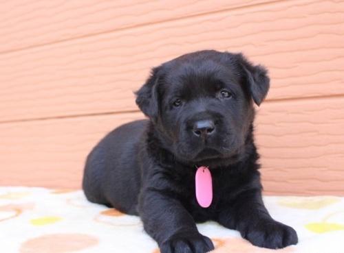 ラブラドールレトリバーの子犬(ID:1247411440)の1枚目の写真/更新日:2018-08-15