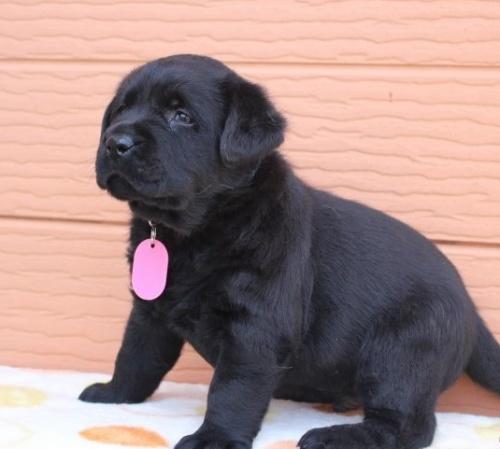 ラブラドールレトリバーの子犬(ID:1247411440)の3枚目の写真/更新日:2019-05-09