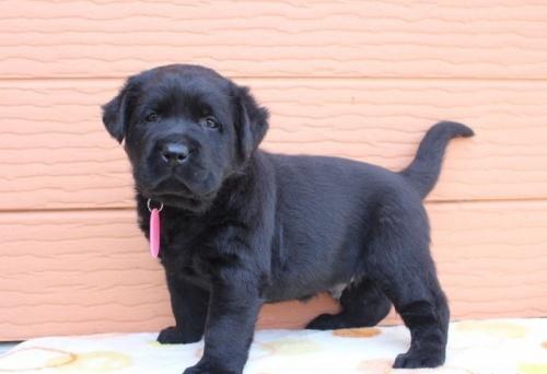 ラブラドールレトリバーの子犬(ID:1247411440)の4枚目の写真/更新日:2018-08-15