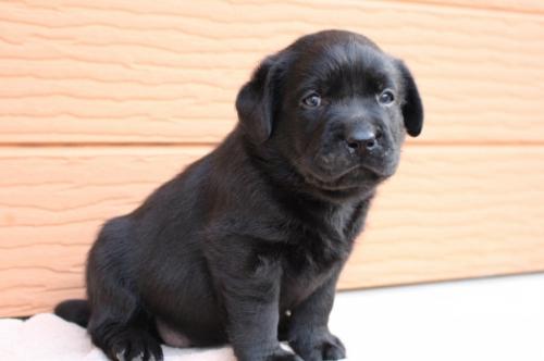 ラブラドールレトリバーの子犬(ID:1247411441)の2枚目の写真/更新日:2018-07-09