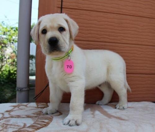 ラブラドールレトリバーの子犬(ID:1247411441)の4枚目の写真/更新日:2018-07-09