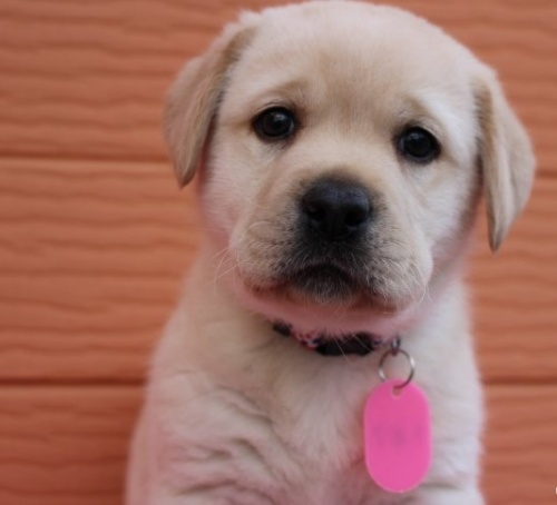 ラブラドールレトリバーの子犬(ID:1247411442)の1枚目の写真/更新日:2018-08-15