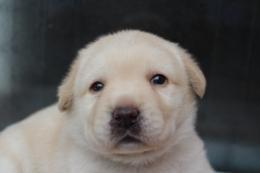 ラブラドールレトリバーの子犬(ID:1247411443)の1枚目の写真/更新日:2017-10-12