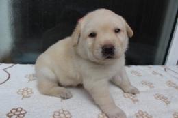 ラブラドールレトリバーの子犬(ID:1247411443)の2枚目の写真/更新日:2017-10-12