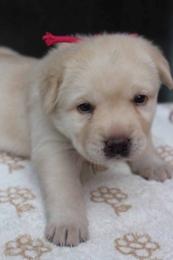 ラブラドールレトリバーの子犬(ID:1247411443)の3枚目の写真/更新日:2017-10-12