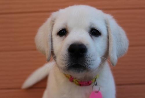 ラブラドールレトリバーの子犬(ID:1247411444)の1枚目の写真/更新日:2017-10-12