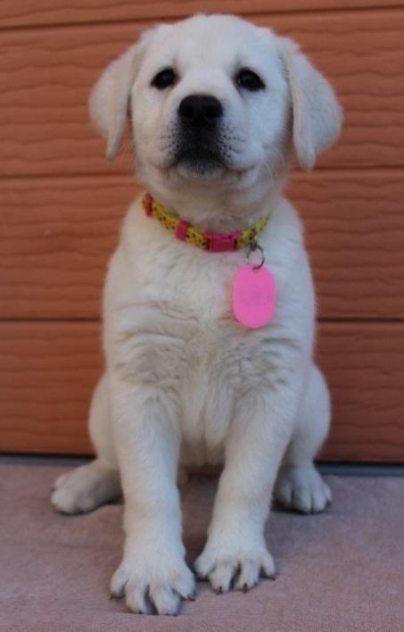 ラブラドールレトリバーの子犬(ID:1247411444)の2枚目の写真/更新日:2018-12-07