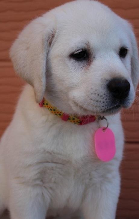 ラブラドールレトリバーの子犬(ID:1247411444)の3枚目の写真/更新日:2019-09-20