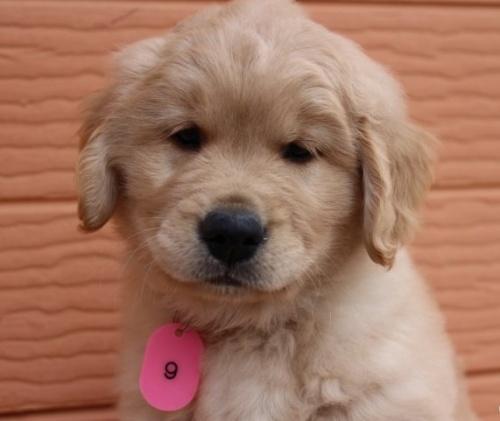 ゴールデンレトリバーの子犬(ID:1247411445)の1枚目の写真/更新日:2017-10-16