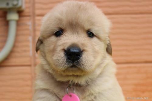 ゴールデンレトリバーの子犬(ID:1247411446)の1枚目の写真/更新日:2020-01-13
