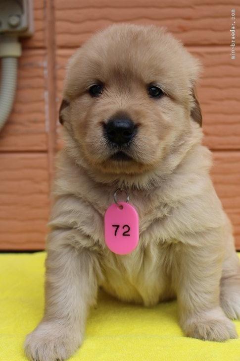 ゴールデンレトリバーの子犬(ID:1247411446)の2枚目の写真/更新日:2020-01-13
