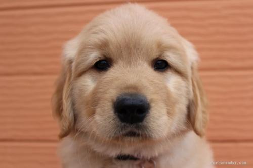 ゴールデンレトリバーの子犬(ID:1247411447)の1枚目の写真/更新日:2018-10-16