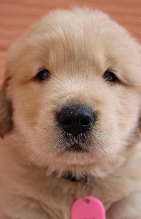 ゴールデンレトリバーの子犬(ID:1247411448)の1枚目の写真/更新日:2017-10-30