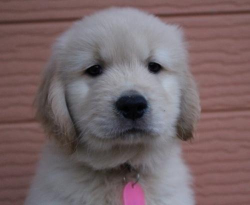 ゴールデンレトリバーの子犬(ID:1247411451)の1枚目の写真/更新日:2017-10-30