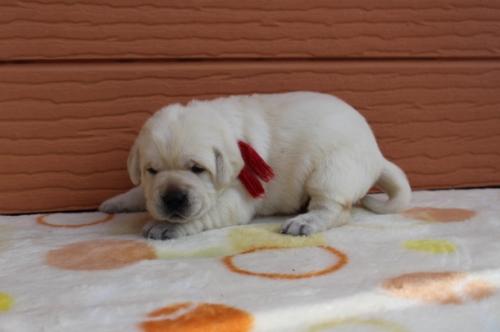 ラブラドールレトリバーの子犬(ID:1247411452)の2枚目の写真/更新日:2018-12-07