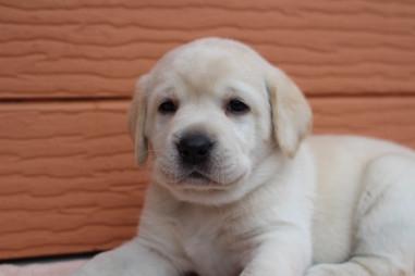 ラブラドールレトリバーの子犬(ID:1247411453)の1枚目の写真/更新日:2017-12-09
