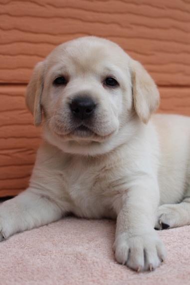 ラブラドールレトリバーの子犬(ID:1247411453)の2枚目の写真/更新日:2017-10-30