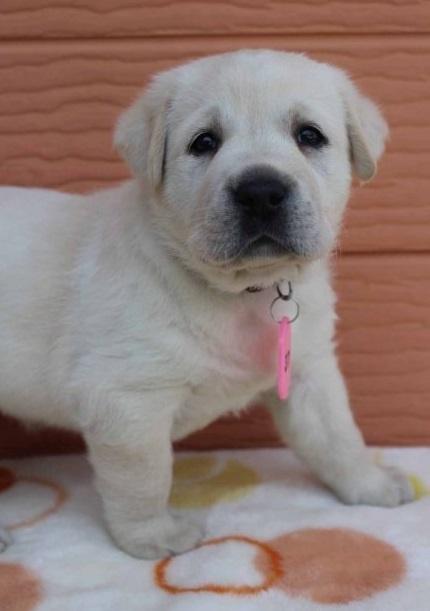 ラブラドールレトリバーの子犬(ID:1247411455)の1枚目の写真/更新日:2018-07-09