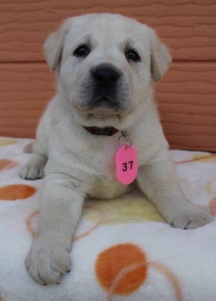 ラブラドールレトリバーの子犬(ID:1247411455)の2枚目の写真/更新日:2018-07-09