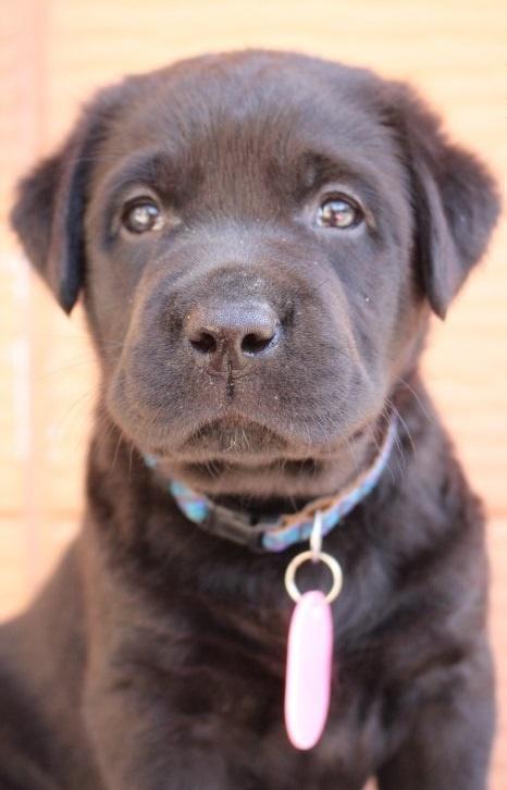 ラブラドールレトリバーの子犬(ID:1247411456)の1枚目の写真/更新日:2017-12-09