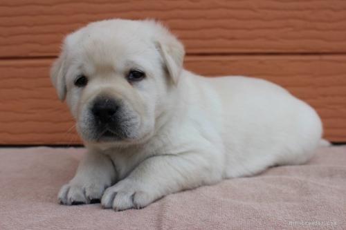 ラブラドールレトリバーの子犬(ID:1247411457)の1枚目の写真/更新日:2018-07-09